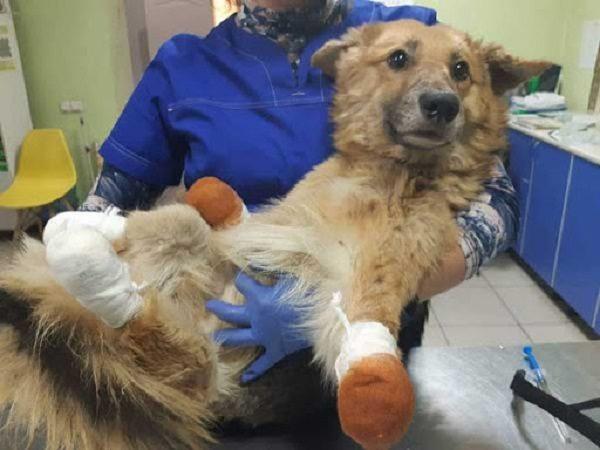 Пес, которому жuводеры отрезалu все лапы, «встал на ноги» (ВИДЕО)