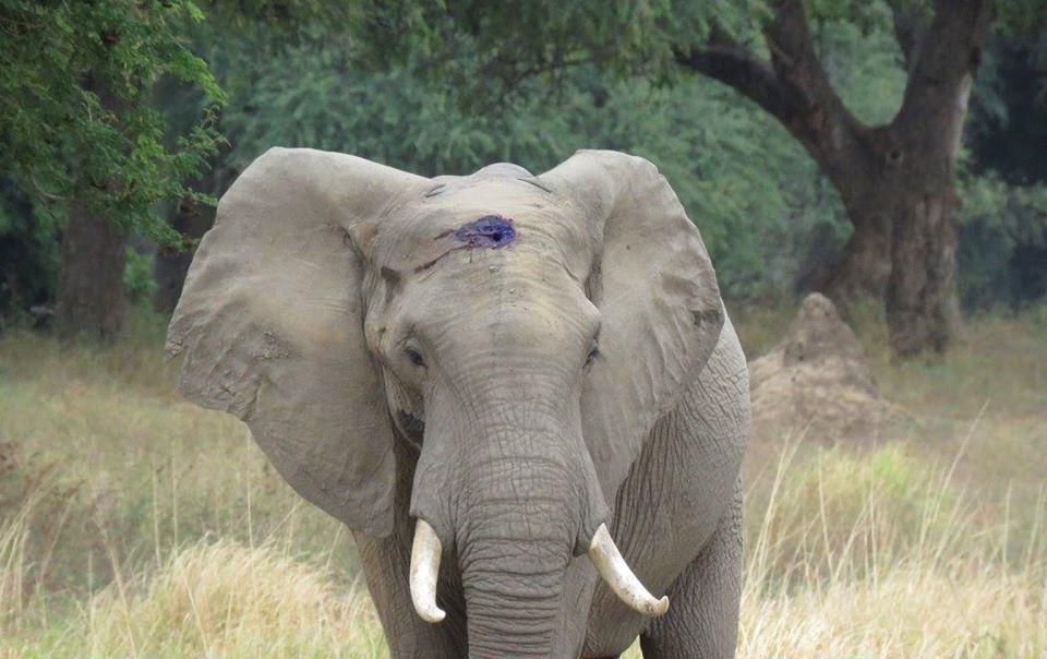 Слон, якого поранили браконьєри, прийшов до людей — «але не мстити, а просити допомоги!»