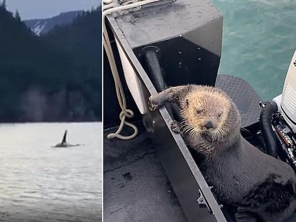 Спасаясь от касатки, выдра запрыгнула в лодку к туристам (ФОТО, ВИДЕО)
