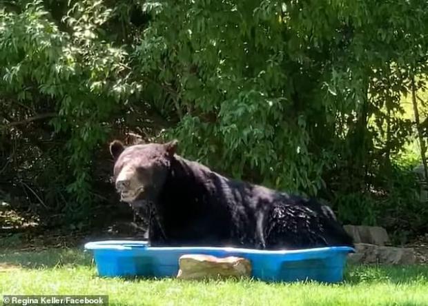 Хотів трохи охолонути: Величезний ведмідь заліз у дитячий басейн і влаштував там шоу (фото, відео)