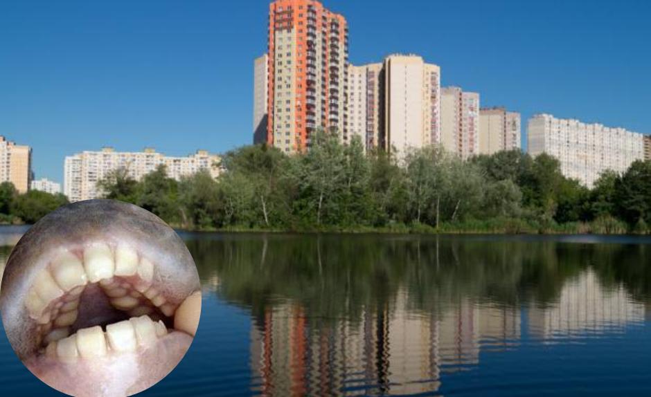 В Києві спіймали величезну рибу з людськими зубами (фото, відео)