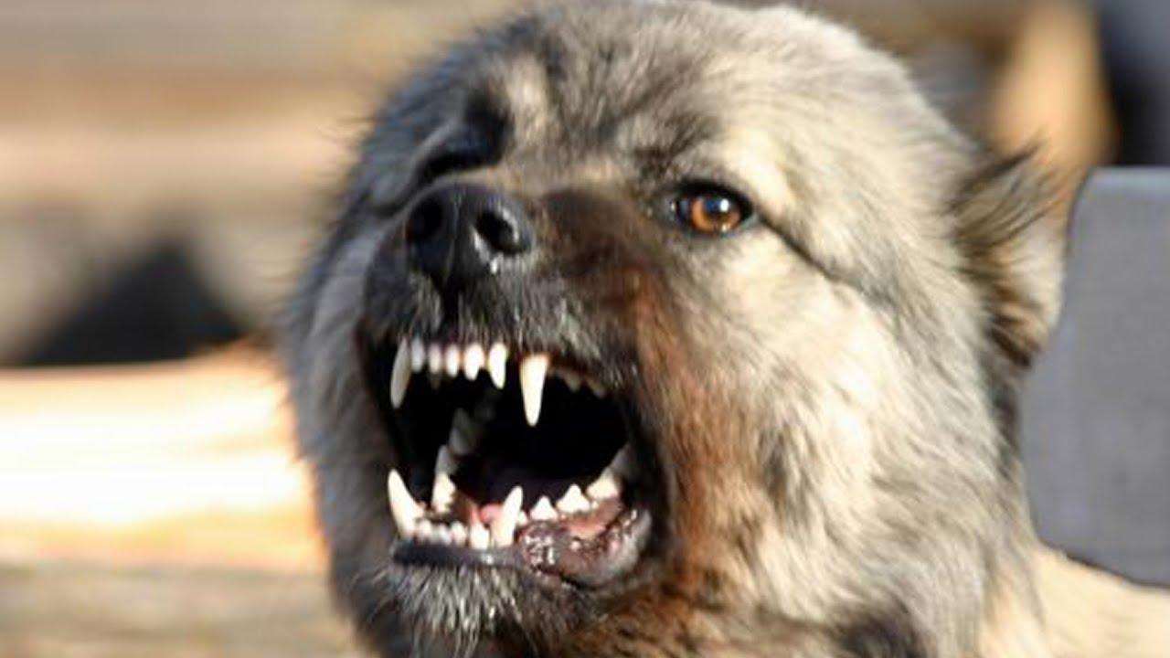В Херсоне алабай устроил расправу над хозяйкой. У матери щенка сработал инстинкт защиты потомства