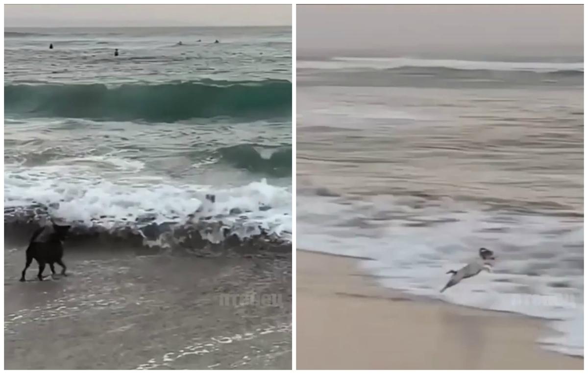 Смелый песик играл с волнами и развеселил Сеть (ФОТО, ВИДЕО)