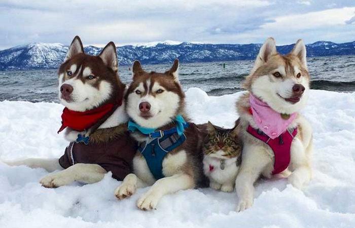 3 хаскі стали кращими друзями кошеня після його порятунку