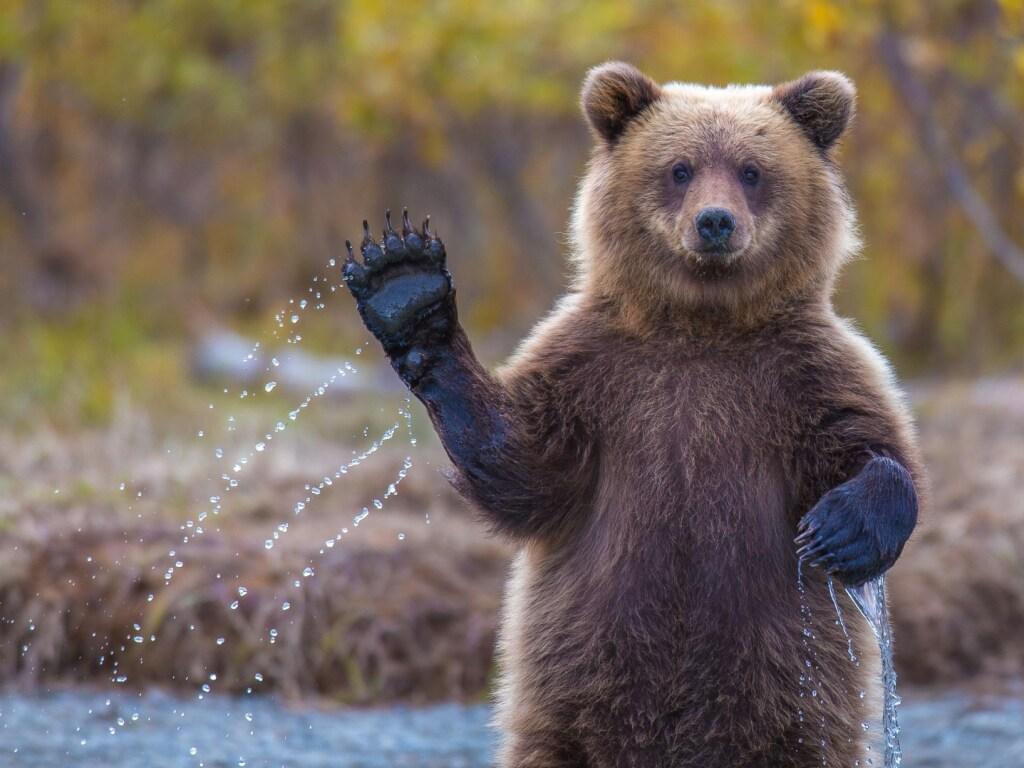 Бесцеремонный медведь разбудил домовладельца, который беспечно дремал у бассейна (ВИДЕО)