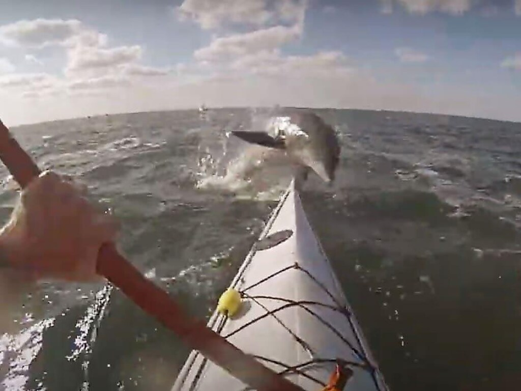 Перед байдарочником неожиданно выскочил дельфин и ударил его по лицу (ФОТО, ВИДЕО)
