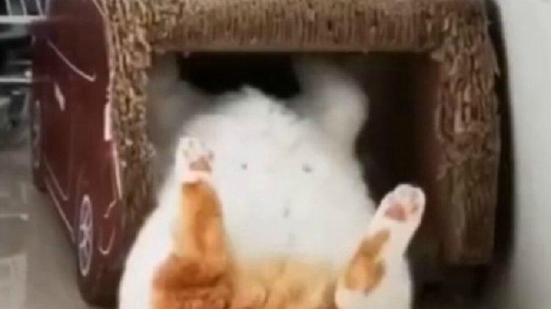 «Сама грация»: толстый кот не влез в «домик» и смешно шмякнулся на пол (ФОТО, ВИДЕО)
