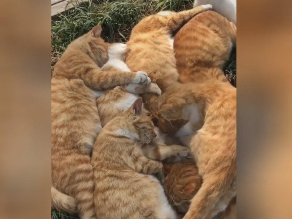 «Дружные ребята»: в Сети умилились, глядя на спящих рыжих котов (ФОТО, ВИДЕО)