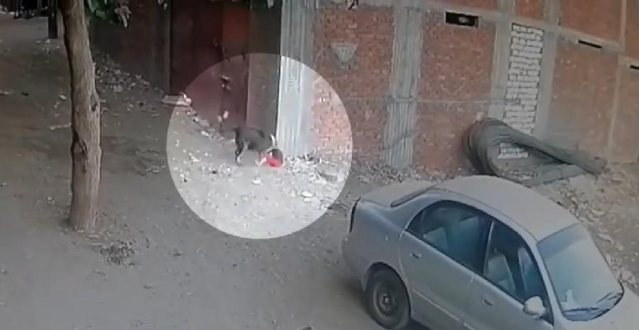 Храбрая кошка спасла ребенка от нападения разъяренной собаки (ВИДЕО)
