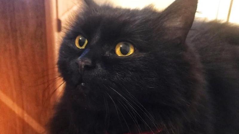 Символ Музея Булгакова, кошку Марго нашли мертвой: причина