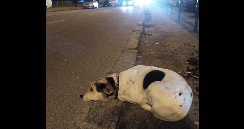 «Лежит потеряшка, ласковая, от дороги не отходит» В Киеве выбросили (?) собаку