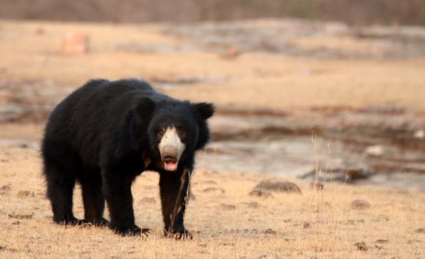 Тигр напав на ведмедя, та … дуже швидко зрозумів свою помилку (відео)