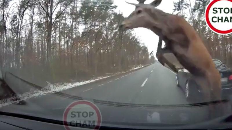 Стадо оленей выскочило из леса на дорогу: посмотрите, чем все закончилось